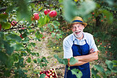 A senior man with a hat standing in apple orchard in autumn, arms crossed.