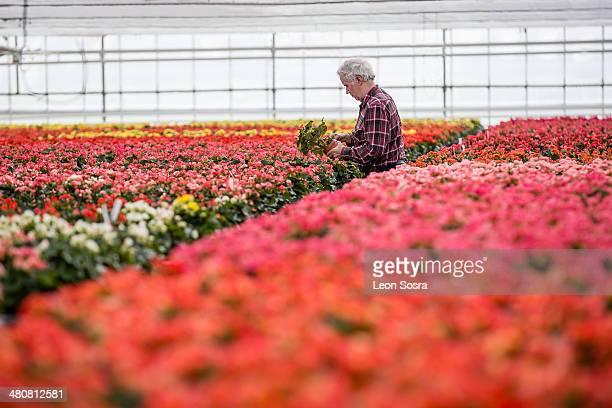 Senior man tending plants in plant nursery
