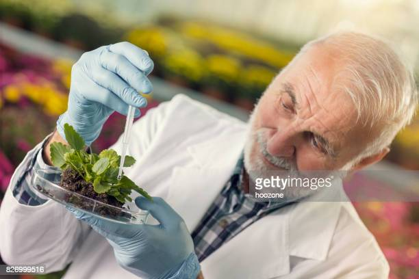 Senior man using pipette on plant sample in greenhouse