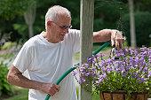 Senior man watering scaevola flowers in lamp post flower basket
