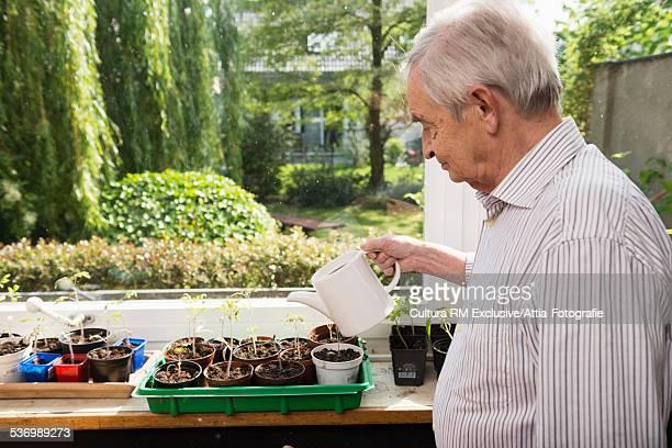 Senior man watering seedlings in greenhouse