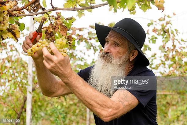Senior homme avec de longs barbe cueillir du raisin, récolter de l'Europe