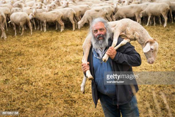 Senior man with long gray hair and beard holds a sheep on his shoulders outdoors in a sheep pen, Abruzzo, Italy, Europe