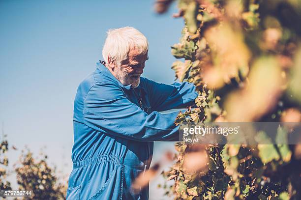 Senior homme avec barbe cueillir du raisin rouge