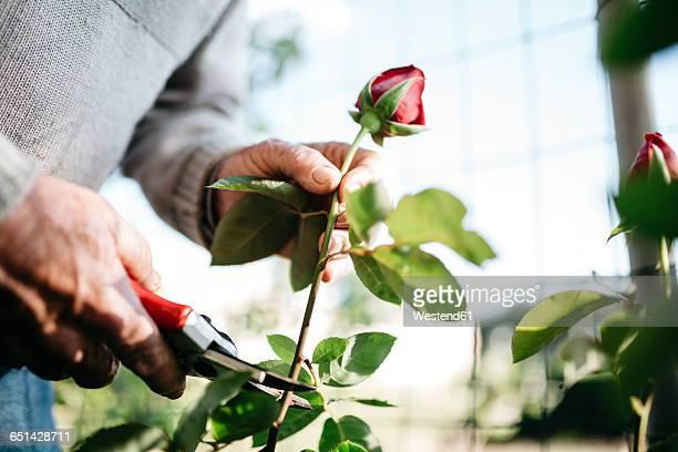 Senior mans hand cutting rose in the garden, close-up