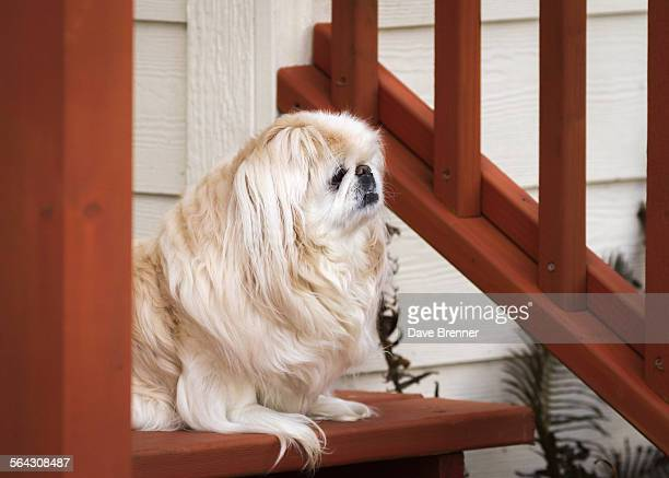 Senior Pekingese waits for its owner