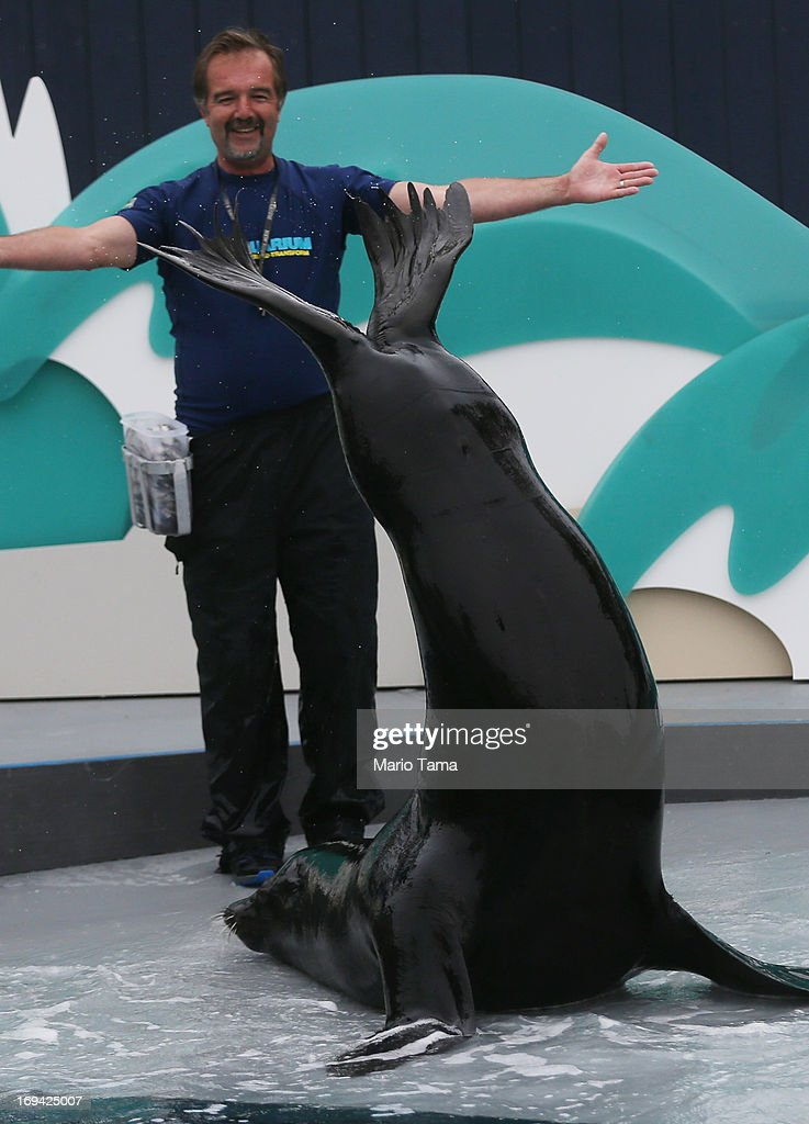 Senior trainer Guenter Skammel plays with sea lion Duke during a press preview before the re-opening of the Wildlife Conservation Society New York Aquarium in Coney Island on May 24, 2013 in the Brooklyn borough of New York City. The aquarium was heavily damaged by Hurricane Sandy and will finally reopen tomorrow on the same day the city beaches re-open to the public. Osborne is one of many Hurricane Sandy survivors, more than 90 percent of the aquarium's sea life survived the storm.