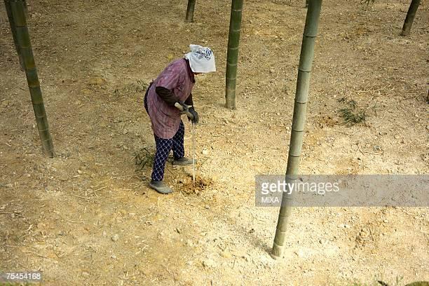 Senior woman digging bamboo shoots