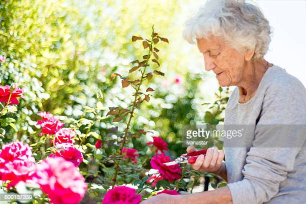 Senior Woman Gardening, Cutting Roses