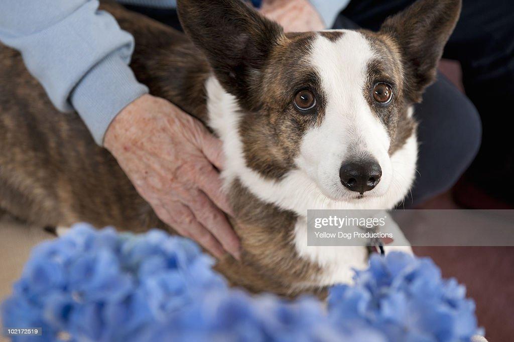 Senior woman hugging her Welsh Corgi dog