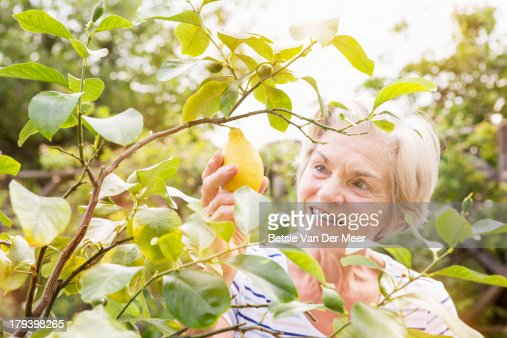 Senior woman picking lemon on lemon tree in garden : Stock Photo
