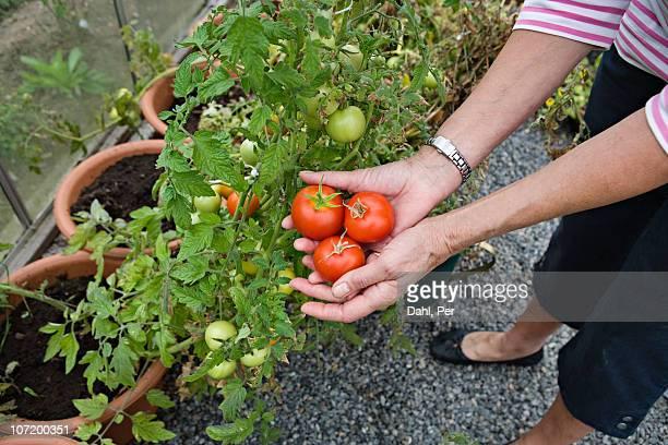 Senior woman picking tomatoes from garden
