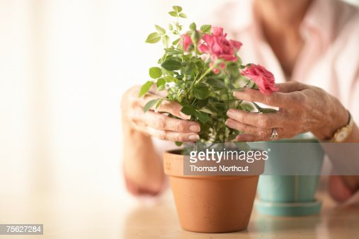 Senior woman sitting at table and potting rose, mid section, close-up of hands : Stock Photo