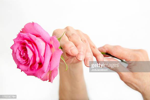 Seniors arthritic hands holding a pink rose on white background.