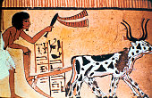 Sennutem ploughing with cattle Ancient Egyptian tomb painting New Kingdom Detail of a wall painting from the Tomb of Sennutem near Deir elMedina the...