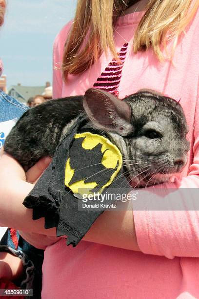 Senor Poncho a Chinchilla from Somers Point NJ attends the 2014 Woofin' Paws Pet Fashion Show at Carey Stadium on April 19 2014 in Ocean City New...