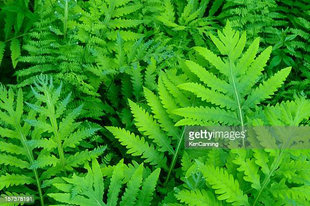 Sensitive Fern Fronds in Spring