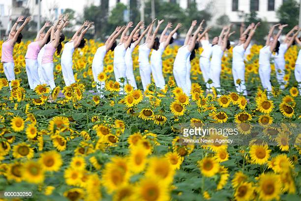 CHENZHOU Sept 7 2016 Yoga enthusiasts practice yoga at a sunflower park in Chenzhou central China's Hunan Province Sept 7 2016