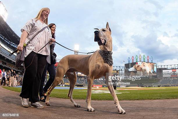 A great dane with his owner parades around the field at Bark in the Park night before a game between the Cleveland Indians and the Chicago White Sox...