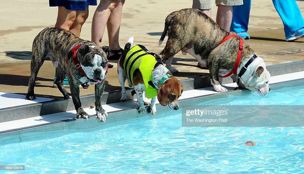 Dogs check out the water during the fifth annual Doggie Day swim at Upshur Pool on Arkansas Avenue in Northwest Washington.The event which allows dogs to swim in the pools before they are drained for the winter s sponsored by the D.C. Department of Parks and Recreation in partnership with the Department of Health and the Washington Humane Society on September 7, 2013 in Washington, DC