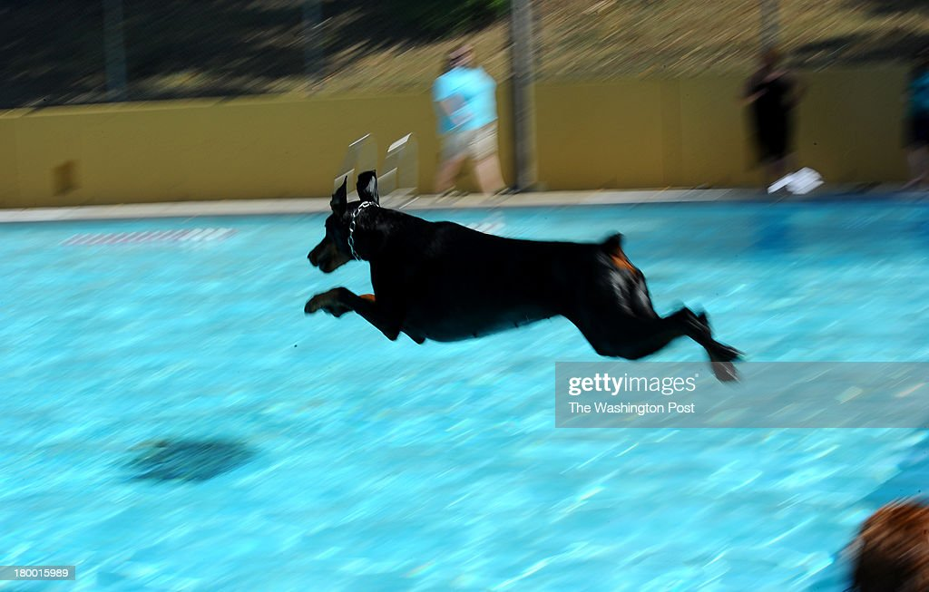 Tara, a five year old doberman, leaps into the pool during the fifth annual Doggie Day swim at Upshur Pool on Arkansas Avenue in Northwest Washington.The event which allows dogs to swim in the pools before they are drained for the winter s sponsored by the D.C. Department of Parks and Recreation in partnership with the Department of Health and the Washington Humane Society on September 7, 2013 in Washington, DC