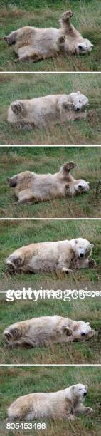 Sequence of pictures showing Mercedes the UK's only polar bear rolling around in her new enclosure for her first public appearance since moving from...