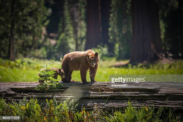 USA, Sequoia National Park, Brown bear and brown bear cub