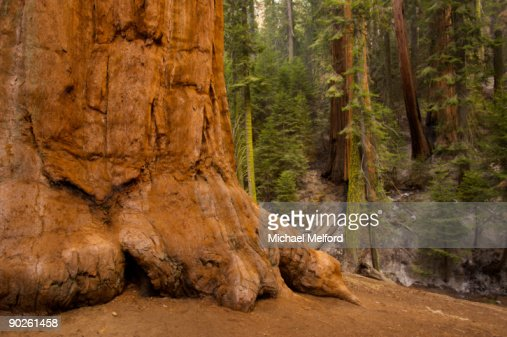 The Trunk Of A Giant Sequoia Tree