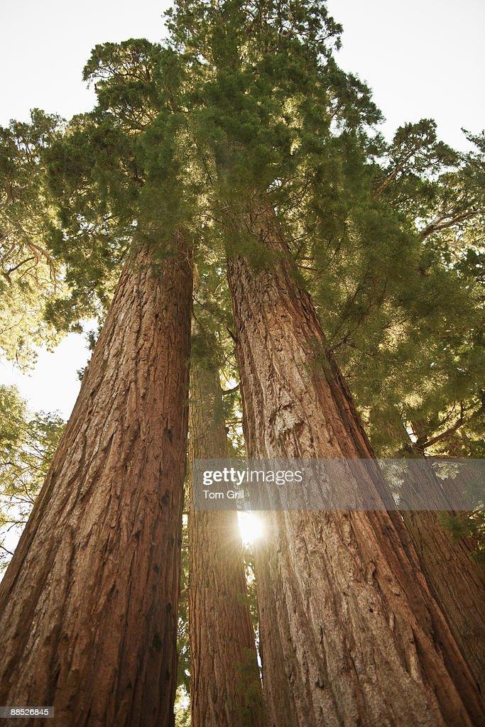 Sequoia Redwoods at sunset  : Stock Photo