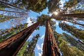 Wide-angle view of famous giant sequoia trees, known as giant redwoods or Sierra redwoods, on a beautiful sunny day with blue sky and clouds in summer, Sequoia National Park, California, USA.