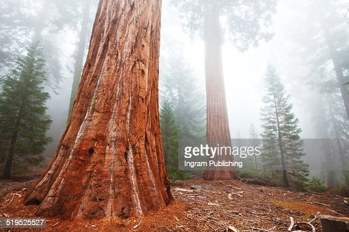 Sequoia trees in forest