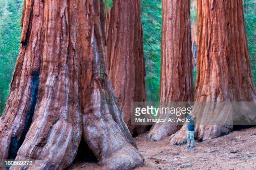 Sequoia trees, Yosemite National Park, California, USA
