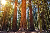 Sequoia vs Man. Giant Sequoias Forest and the Tourist with Backpack Looking Up.