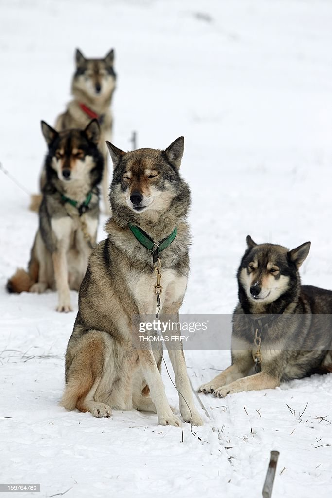 Serbian Huskies wait for the dog sledding event in Liebenscheid, Germany on January 20, 2013. About 40 musher and over 120 dogs take part in the dog sledding event at the Westerwald. AFP PHOTO / THOMAS FREY GERMANY OUT