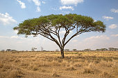 Landscape of Serengeti national park with acacia tree