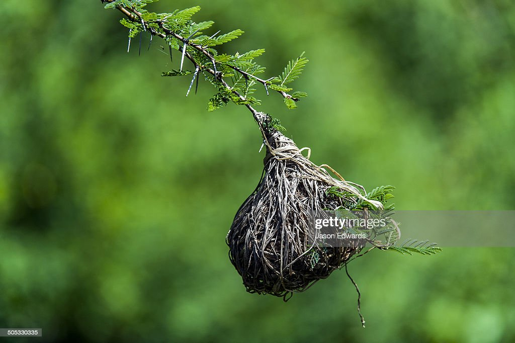 A nest of dry grass woven by a Lesser Masked Weaver hangs from a thorny Acacia tree branch.