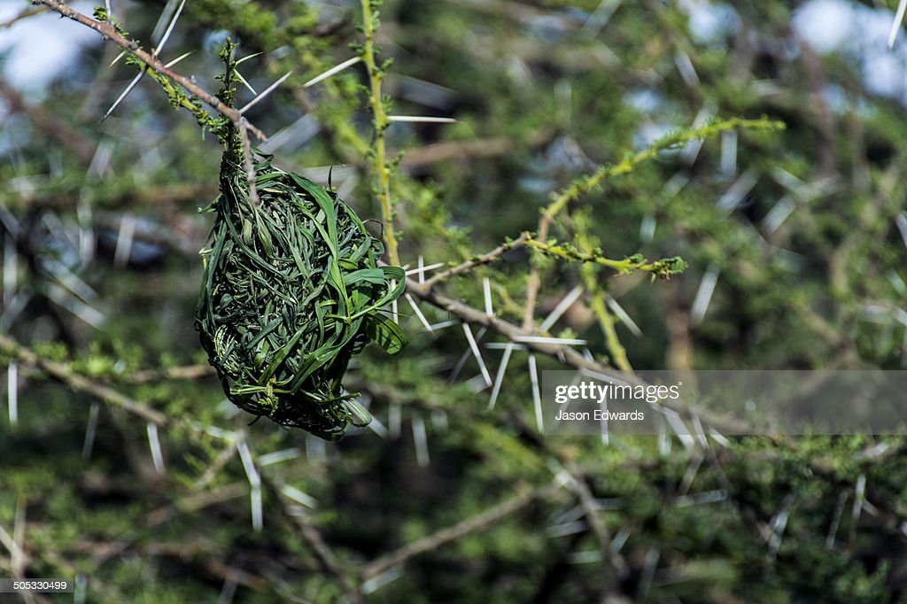 A next of dry grass woven by a Lesser Masked Weaver hangs from a thorny Acacia tree branch.