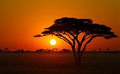 Serengeti Sunrise Acacia Tree