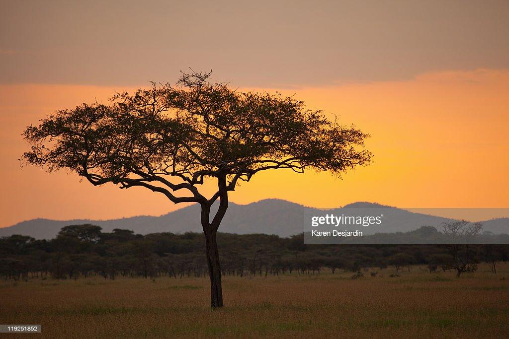 Serengeti sunset, Tanzania : Stock Photo