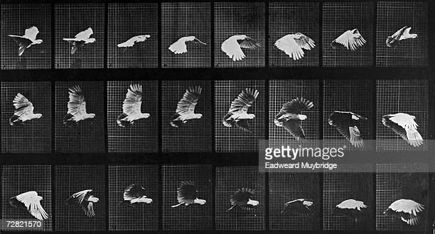 A series of 24 photographs showing stages in the flight of a cockatoo circa 1887