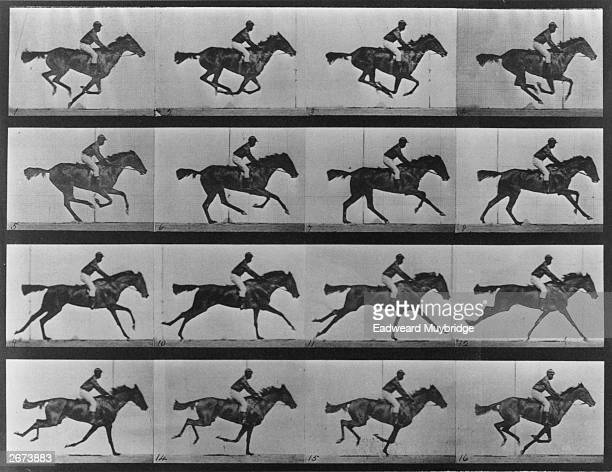 A series of photographs showing a horse galloping This series of action studies of a horse galloping established that horses do at one point in this...