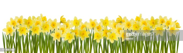 Series of yellow daffodils in white background