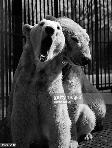 Zoological Garden Berlin 'cuddling' couple of polar bears 1937 Photographer Seidenstuecker Published by 'Berliner Morgenpost' Vintage property of...