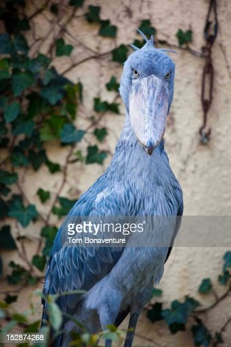 A serious looking Shoebill : Stock Photo