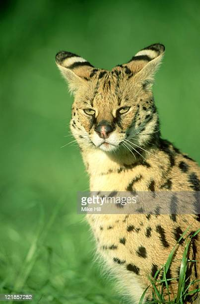 serval cat: felis serval  (model)