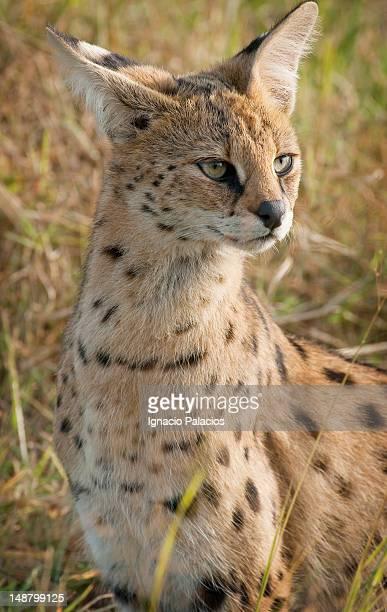 Serval cat (Leptailurus serval).