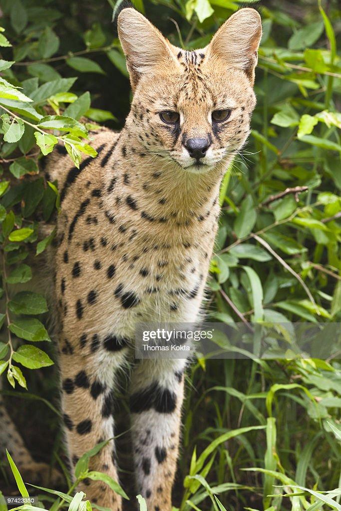 Serval cat (Leptailurus serval)  : Stock Photo