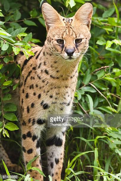 Serval cat (Leptailurus serval)