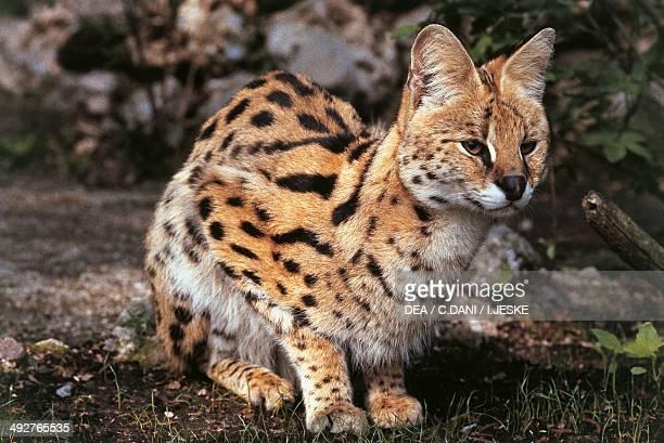 Serval Felidae