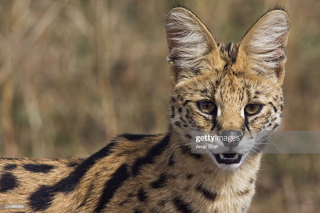 Serval female portrait : Stock Photo